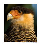 Title: Crested Caracara