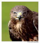 Title: Common Buzzard (Buteo buteo)