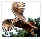 Title: The Eurasian Eagle Owl