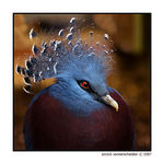 Title: Crowned Pigeon