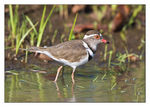 Title: Three-banded plover