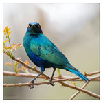 Title: Greater Blue-eared Glossy-starling Camera: Canon EOS 1D Mark III