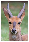 Title: Bushbuck for Jan-Hendrik