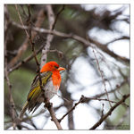 Title: Red-headed weaverCanon EOS 1D Mark III
