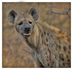 Title: Spotted HyenaCanon EOS 1D Mark III