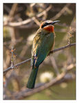 Title: White-fronted bee-eater