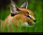Title: Caracal