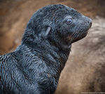 Title: Cape Fur Seal Pup