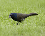 Title: Common Grackle 2