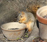 Title: Eastern Gray Squirrel