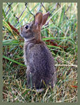 Title: Eastern Cottontail