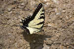Title: Yellow Swallowtail Butterfly