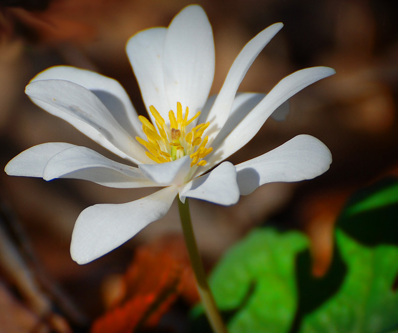 Carolina Wildflower