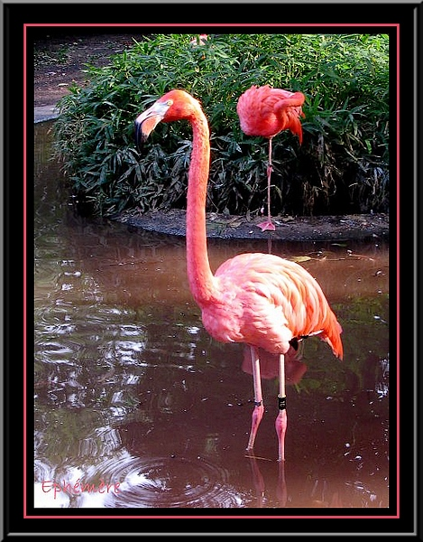 Flamants Roses...