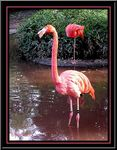 Title: Flamants Roses...