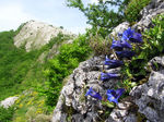 Title: Gentiana angustifolia subsp occidentalis