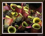 Title: Lower Pitchers