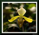 Title: Slipper Orchid