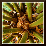 Title: Cycad