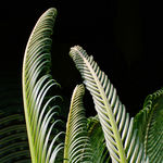 Title: Cycad Young Leaves