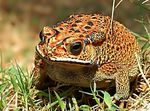 Title: Indonesian Toad