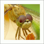 Title: Yellow Dragonfly