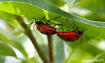 Title: Mating Insects 01