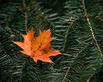 Title: Maple Leaf on Branch