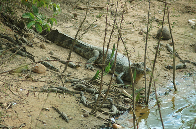 Caiman and... 24 babies