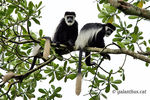 Title: Colobus guereza occidentalis