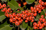 Title: Pyracantha coccinea