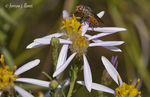 Title: Aster sedifolius & insect