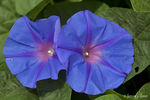 Title: Ipomoea indica