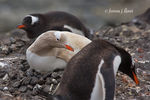 Title: Hypochromatic Gentoo Penguin