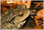 Title: Common European Toad