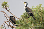 Title: Phalacrocorax carbo