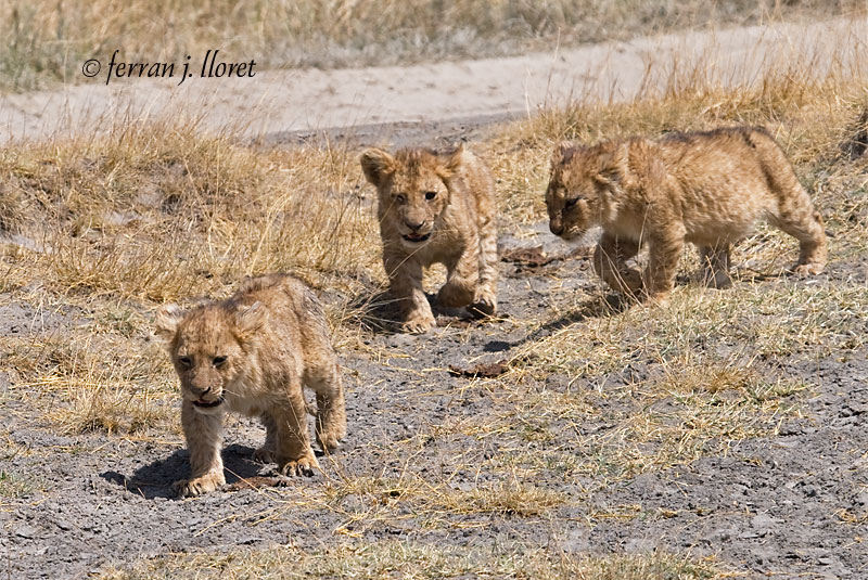 Small lions