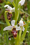 Title: Ophrys scolopax