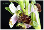 Title: Orchid with a spider