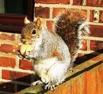 Title: Squirrel with big nuts
