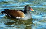 Title: Red Beaked Duck