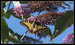 Title: the swallowtail butterfly