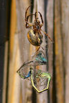 Title: spider eats two dragonflies