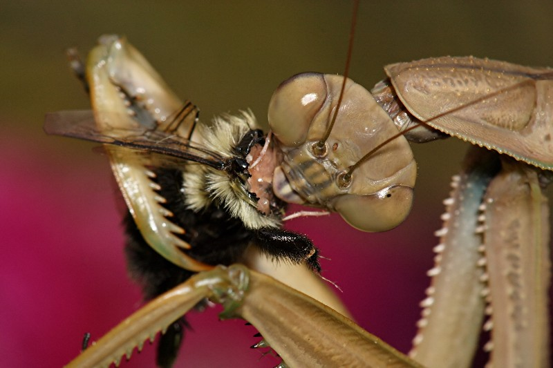 Devouring a bee