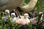 Title: Baby swans