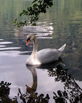 Title: Reflection swan
