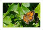 Title: � Pyronia tithonus �Nikon D300