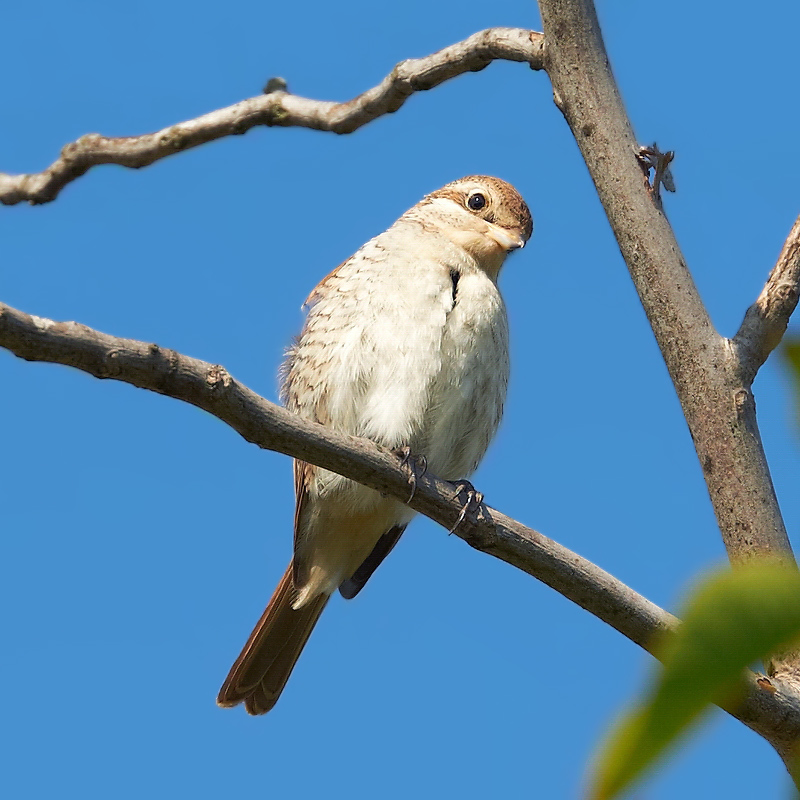 Another Juvenile: front view