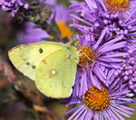 Title: Berger's Clouded Yellow