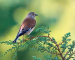 Title: Common linnet Camera: Nikon D7100